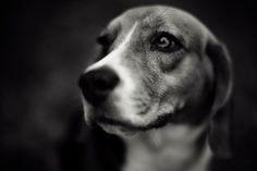 Beagle. By Sippanont Samchai.
