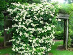 Checkout 19 best pergola plants for your garden. These climbing plants for pergolas and arbors can also be grown in small gardens easily. Pergola Canopy, Backyard Pergola, Pergola Kits, Backyard Landscaping, Pergola Ideas, Hydrangea Landscaping, Backyard Toys, Cheap Pergola, Patio Ideas