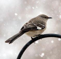Mockingbird Arkansas State Bird.  Oh, how I  miss the Mockingbirds in the Morning!