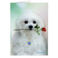 Hermes the Maltese Birthday Card - birthday cards invitations party diy personalize customize celebration