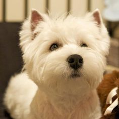 West Highland White Terrier = Perfect