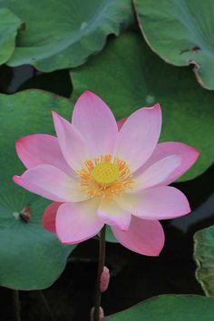 Lotus flower. bali