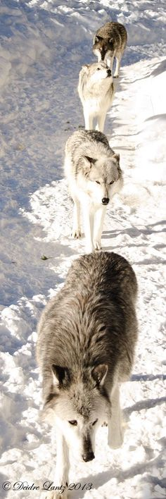 While humans travel side by side, canines travel in a line with the leader being in front