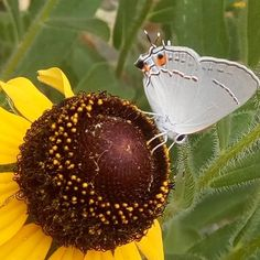 Had a visitor this morning. Actually there were two and I think they were drying their wings.#GardenWithJulia . . . Edit: it's a gray hairstreak butterfly. These flowers are right next to my pea plants and those are often a host species! How cool! #butterfly