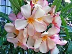 OLEANDER SORTEN - Blühende Oleander: Eine Auswahl von blühenden Oleandern aus dem Oleandergarten, Oleanderblüten in allen Farben, rot , rosa, weiß, gelb, lachsfarben