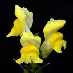 The Lemon Dragon ~ Snapdragon (Antirrhinum majus)