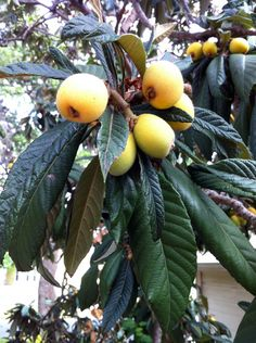 Loquat love in Texas - Hip Girl's Guide to Homemaking - Living thoughtfully in the modern world