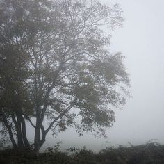 Morning Fog at the Wishing Tree  #naturephotography #jj_mist