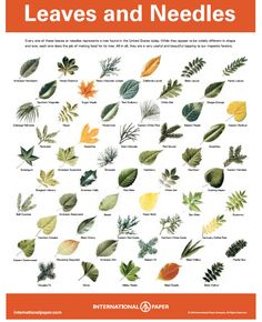 Excellent for nature study! Free printable tree posters - how a tree eats, drinks, and breathes; reading the rings of a tree; leaves and needles; telling a tree by its bark. Outdoor Education, Outdoor Learning, Horticulture, Tree Leaf Identification, Forest School, Nature Journal, Tree Leaves, Bushcraft, Nature Crafts