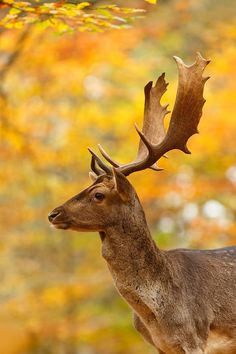 Fallow deer in a beech forest on a beautiful autumn day.