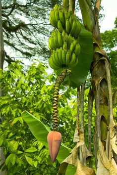 Plantain tree growing in Nicaragua. Photo by Brad Perkins, via Tropical Fruits, Tropical Garden, Tropical Plants, Banana Fruit, Banana Plants, Evergreen Vines, Miami Gardens, Tropical Design, Growing Tree