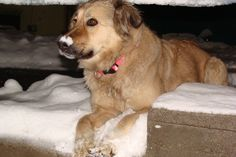 Julie, the Afghan Snow Dog ,enjoys a bed of freshly fallen snow in Kabul, Afghanistan (2.12.2012)