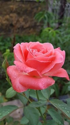 Beautiful Roses, Beautiful Flowers, Love Rose, Trees And Shrubs, Topiary, Garden Landscaping, Pink Roses, Creations, Blossoms