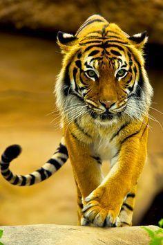 Resultado de imagen de stunning tiger