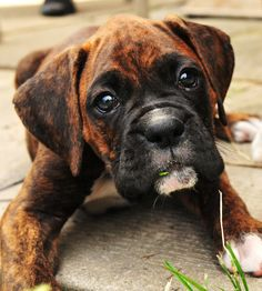 Boxer Dog with great puppy eyes by Dave Demoe, via Boxer And Baby, Boxer Love, Cute Puppies, Cute Dogs, Dogs And Puppies, Doggies, Animals Beautiful, Cute Animals, Animals Dog