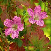 Geranium 'Claridge Bruce' Artikel om geranium