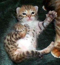 Hunterdonhall Bengal Cats and Kittens, TICA Registered