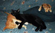 ROMULO - Gato adoptado - AsoKa el Grande