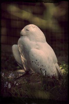 Frühlingsgefühle einer Schnee-Eule                              …