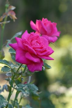 """premsaral: """"Source :something to say """" Beautiful Rose Flowers, Pretty Roses, Flowers Nature, Amazing Flowers, Rose Images, Rose Pictures, Red And Pink Roses, Types Of Roses, Rosa Rose"""