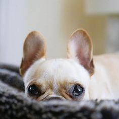 Leo, the French Bulldog Puppy, #frenchieleo on instagram