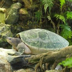 11 Critically endangered turtle species. http://www.treehugger.com/natural-sciences/11-critically-endangered-turtle-species.html @sea Shepherd Conservation Society #defendconserveprotect