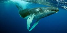 Humpback Whale Status Downgrade Defended By Biologists - Politics ...
