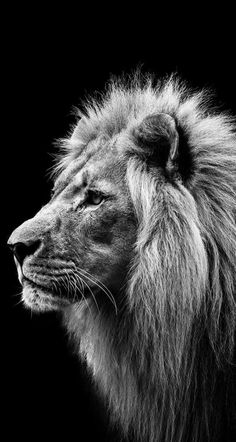 Lion – Beautifully Shot Wildlife Black and White Photos – Wildlife Planet www.w… Lion – Beautifully Shot Wildlife Black and White Photos – Wildlife Planet www. Black And White Lion, Animals Black And White, Lion And Lioness, Lion Of Judah, Copenhagen Zoo, Lion Photography, White Photography, Lions Photos, Lion Love