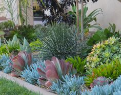 Succulents in the front - contemporary - Landscape - Orange County - Katie Cool