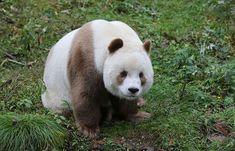 (Foto: Foping Giant Panda Valley / Bored Panda)