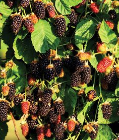 Marionberry, also new to this year's garden