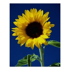 Sunflower 7 poster  Sunflower Products Gorgeous sunflowers on various products. Click to see other sunflower ideas: http://www.zazzle.com/tracytrends/gifts?cg=196289071872793213&ps=120&rf=238756979555966366&tc=PinKRM Add your own personalization. You can customize with text or additional images. #Sunflower #Flower