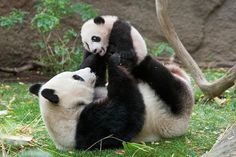 TOP 10 Cutest Baby Pandas Pictures Ever Taken