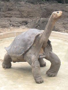 Lonesome #George, the last remaining individual of the Pinta Island tortoise, is considered as one of the #rarestanimals in the world. We would like you to meet this rare creature before he leaves the world and become history.