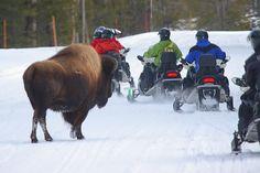 Snowmobile tour...We brake for bison...