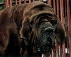 korean mastiff - Bing Images