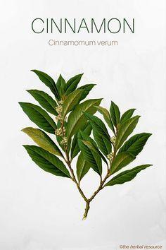 The Medicinal Herb Cinnamon (Cinnamomum verum) anti- fungal, anti-bacterial, diabetics,