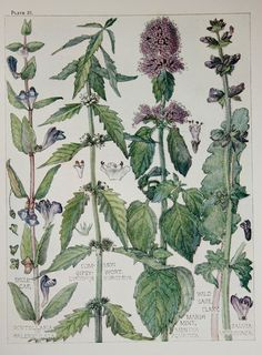 1910 Botanical Print by H. Isabel Adams by PaperPopinjay on Etsy, $15.00