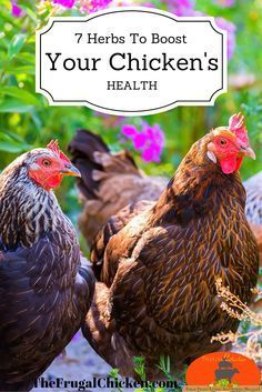 How to use these 7 herbs to boost your flocks health (and get better eggs). Also includes one herb you definitely don't want your flock eating as well as how to make an herbal salve for them.