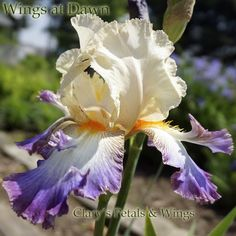 """WINGS AT DAWN Schreiner 2014 Pale apricot standards, bristling with ripples, hold good form and substance. The falls are the real show. Besides the wild, uplifting flounces, a loud orange beard sits on the white falls. The edges of the falls have a spreading purple wash rim. Grows to 46"""" and blooms mid to late season"""