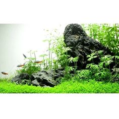 Aquascaping with live plants and rocks