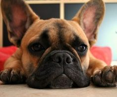 Frenchie face, French Bulldog Puppy