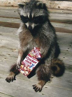 Snacking racoon!