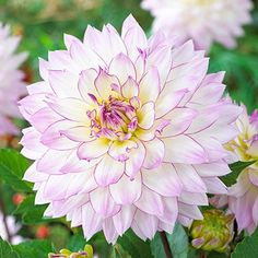 Crazy Love' Semi Dinner Plate Dahlia tubers for planting. White blooms with purple edging. Plant Covers, Dahlia, Flower Pots, Bulb Flowers, Beautiful Flowers, Large Plants, Flowers, Peony Root, Dahlia Flower