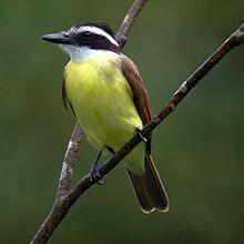 The great kiskadee (Pitangus sulphuratus) is a passerine bird. It is a large tyrant flycatcher ... wikipedia