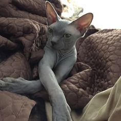 Enhancing their cleavage. | 26 Hairless Cats Making Regular Human Things Look Spectacular