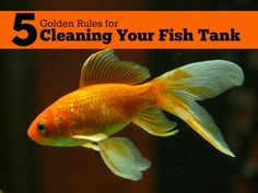 Tips for cleaning out your fish tank. If you want to learn more about keeping goldfish then these cleaning tips are essential reading. #goldfish #aquariums