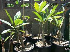 Growing plumeria