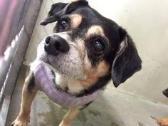 #A264870 Release date 11/21 (Chip Hold) I am a male, black and brown Chihuahua - Smooth Coated mix. Shelter staff think I am about 10 years old. I have been at the shelter since Nov 10, 2014.  If I am not claimed, after my stray holding period, I may be available for adoption on Nov 21, 2014. ... City of San Bernardino Animal Control-Shelter. https://www.facebook.com/photo.php?fbid=10203928686035100&set=a.10203202186593068&type=3&theater