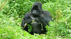 Gorila de montaña: El gorila de llanura, parece a salvo, pero su compañero, el de montaña, podría desaparecer totalmente en 2025.